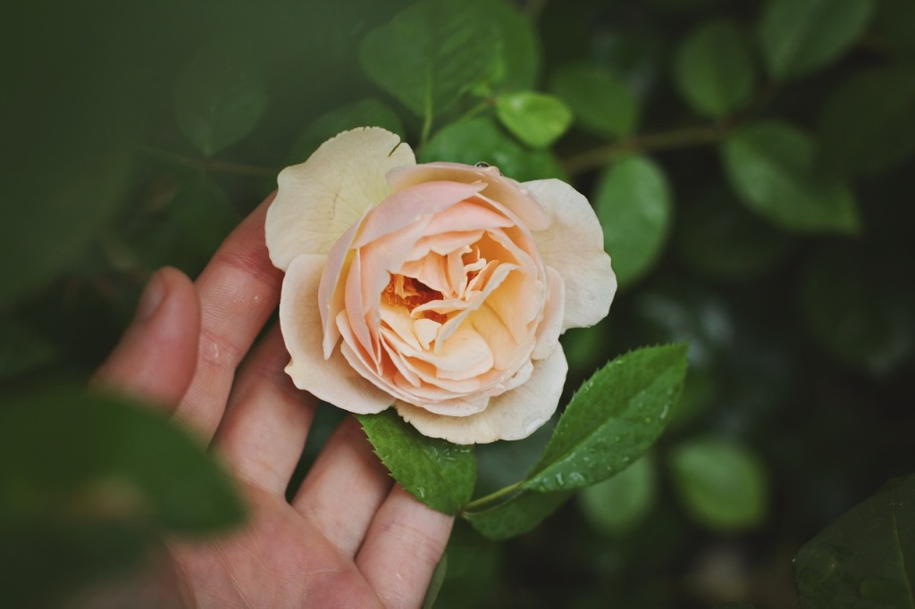 rose-691996_1280