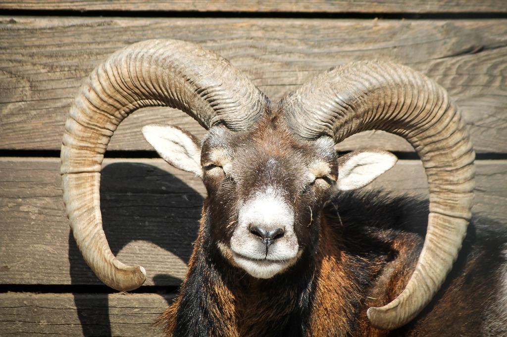 mouflon-721124_1280